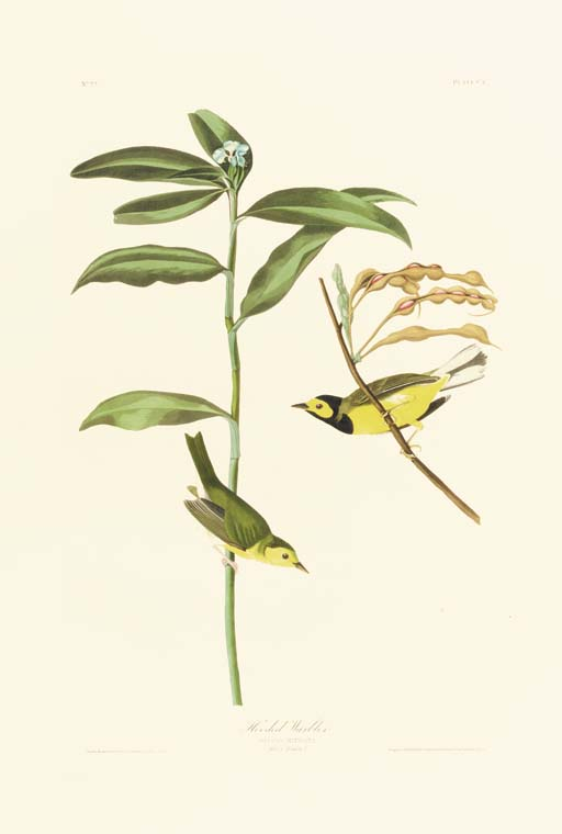 HOODED WARBLER (PLATE CX)