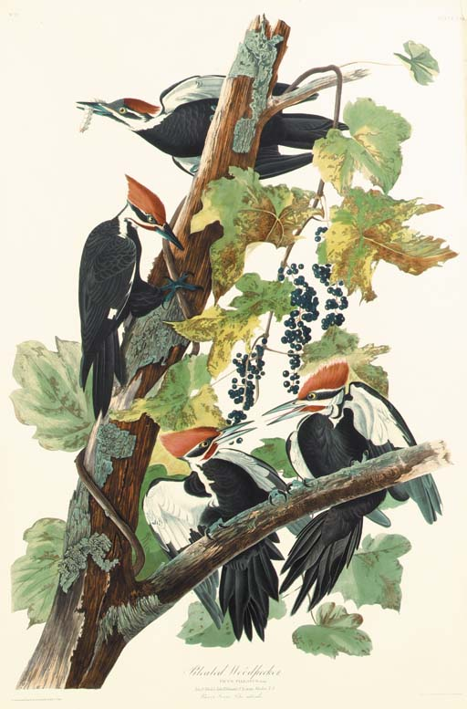PILEATED WOODPECKER (PLATE CXI
