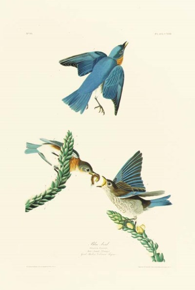 BLUE BIRD (PLATE CXIII)