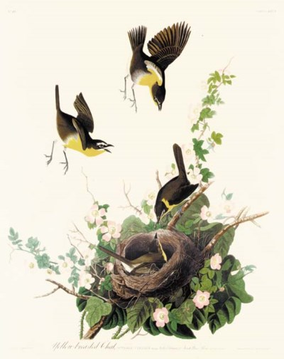 YELLOW-BREASTED CHAT (PLATE CX