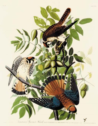AMERICAN SPARROW HAWK (PLATE C