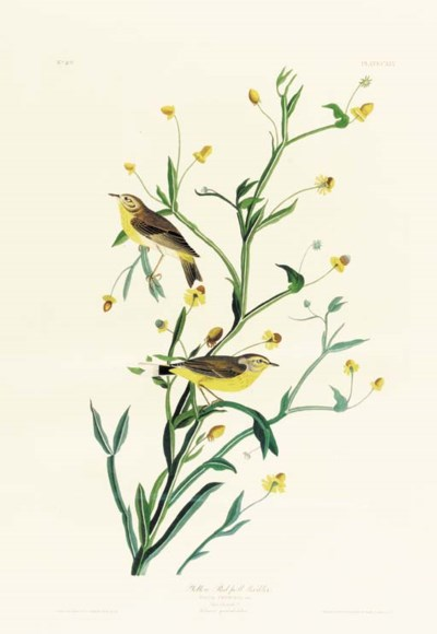 YELLOW RED-POLL WARBLER (PLATE
