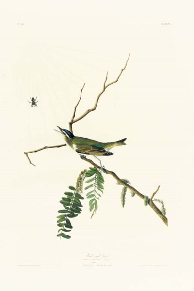 RED-EYED VIREO (PLATE CL)