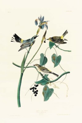 YELLOW-CROWN WARBLER (PLATE CL