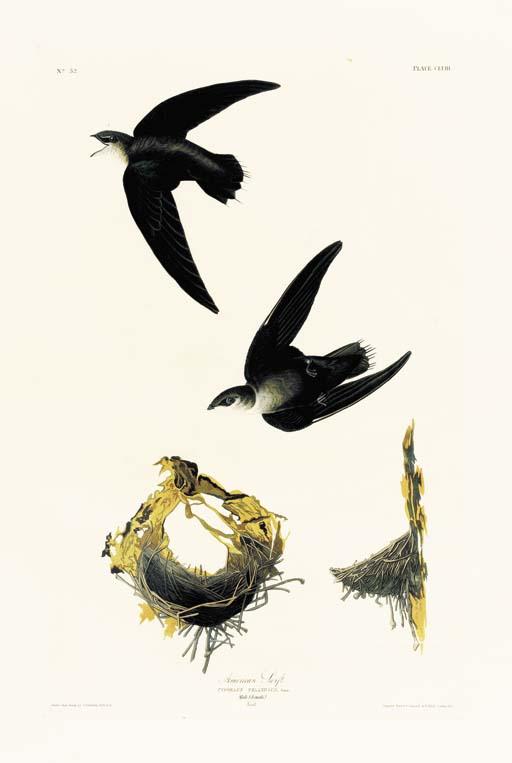 AMERICAN SWIFT (PLATE CLVIII)