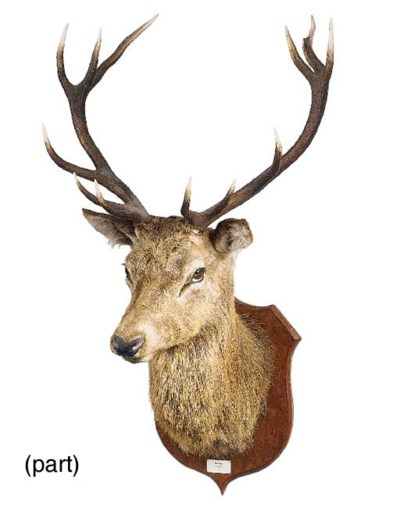 A stuffed and mounted stag's h