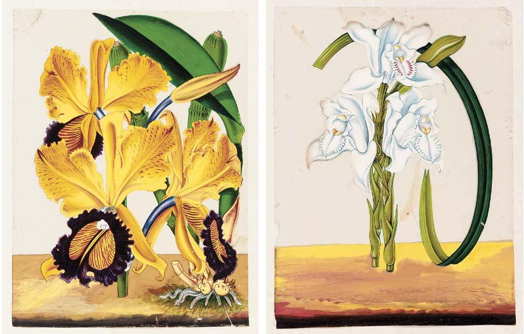 Album of Twenty-Five Paintings of Orchids on Mica Southern India, Trichinopoly, circa 1860