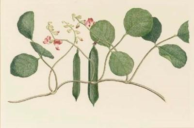 AFTER SYDNEY PARKINSON (1745-1