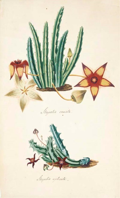 STAPELIA GENUS -- A collection