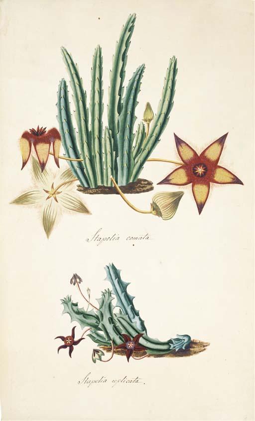 STAPELIA GENUS -- A collection of original watercolour drawings of members of the Stapelia genus, German school, early 19th century [paper watermarked 1805-1806].