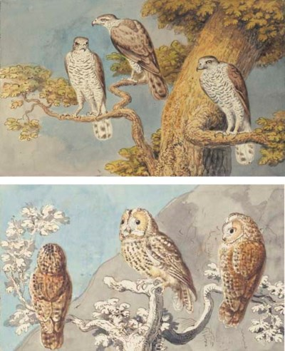 Three young sparrowhawks in th
