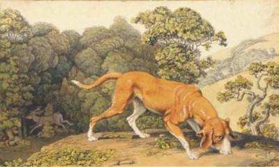A deerhound following a scent