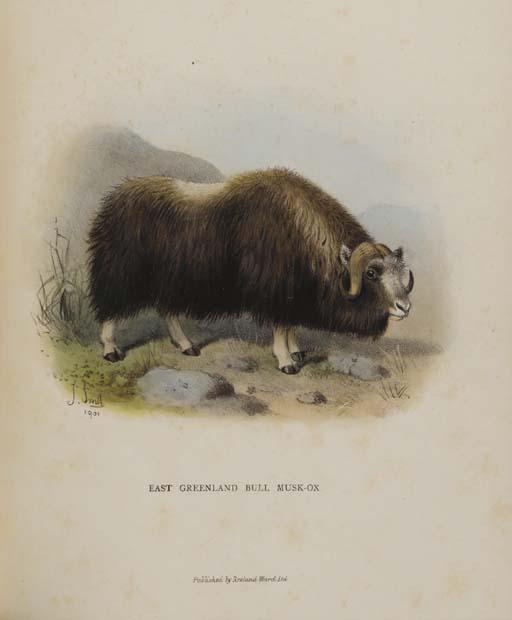 LYDEKKER, Richard. Wild Oxen,