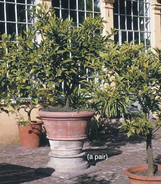 A PAIR OF LAUREL TREES IN TERR