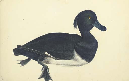 SELBY, Prideaux John (1788-186