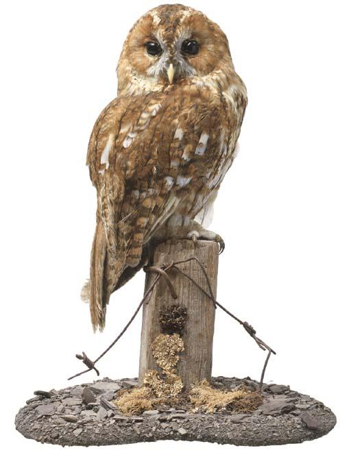 A STUFFED BARN OWL