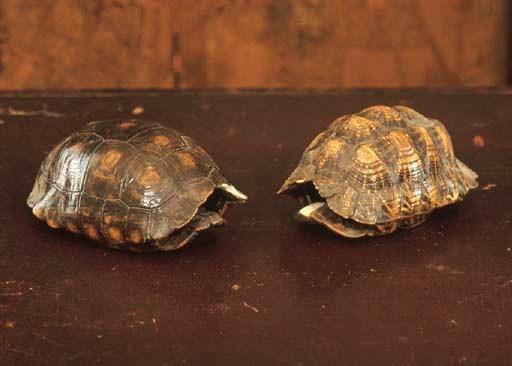 TWO TORTOISE SHELLS