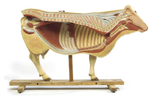 An anatomical half-model of a