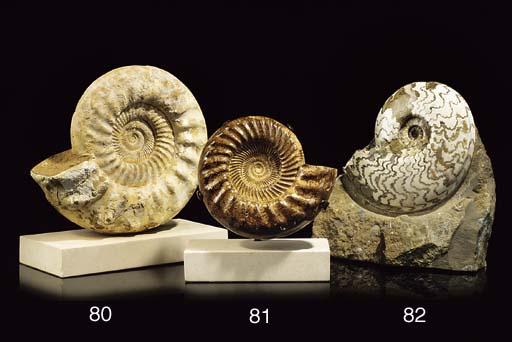A large kranophinctes (ammonit