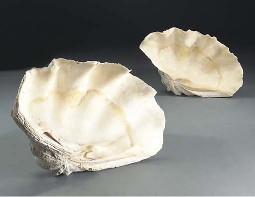 A giant clam shell