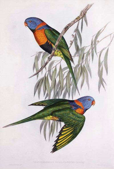 RED-COLLARED LORIKEET Trichogl