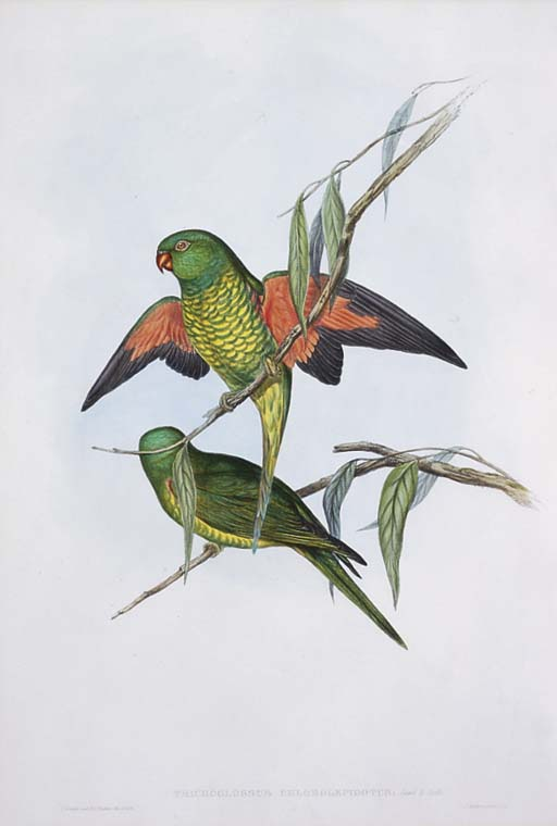 SCALY-BREASTED LORIKEET Tricho