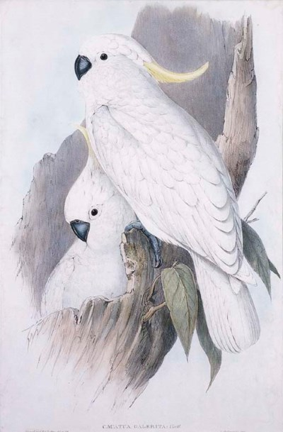 CRESTED COCKATOO Cacatua Galer