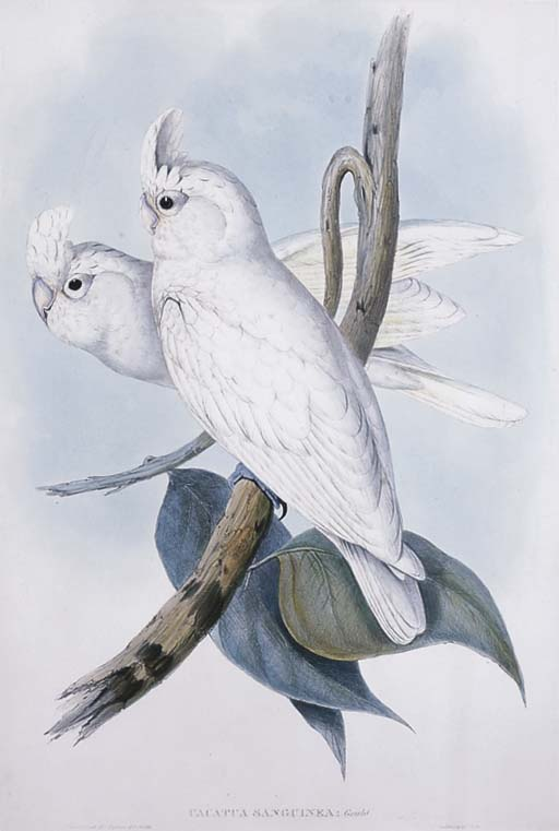 BLOOD-STAINED COCKATOO Cacatua