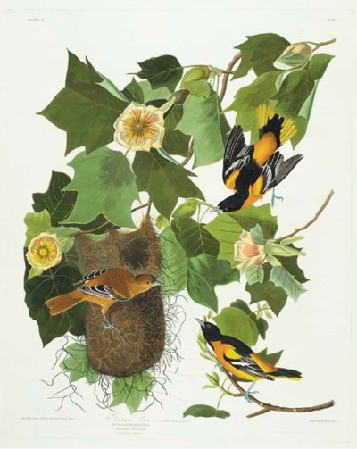 Baltimore Oriole (Plate 12) Ic