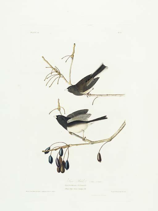 Snow Bird (Plate 13) Dark-eyed