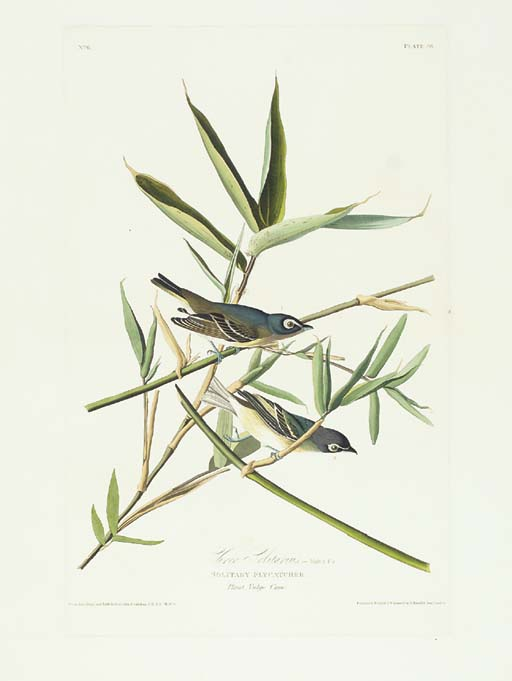 Vireo Solitarus , Solitary Fly