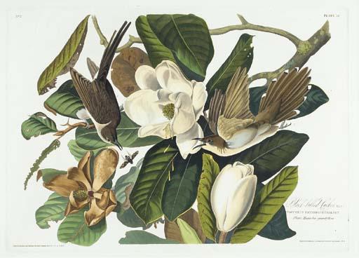 Black-billed Cuckoo (Plate 32)