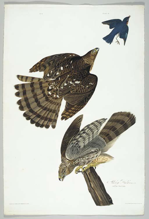 Stanley Hawk (Plate 36) Cooper