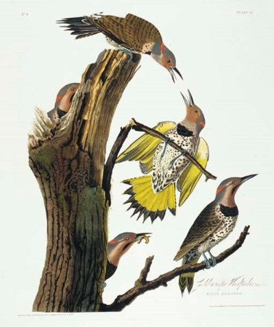 Gold-winged Woodpecker (Plate