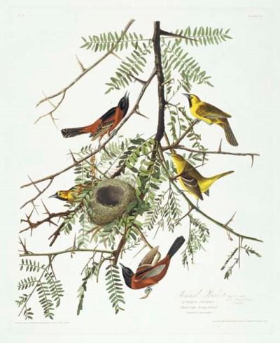 Orchard Oriole (Plate 42) Icte