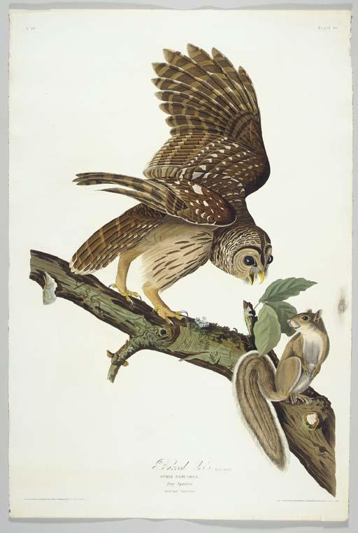 Barred Owl (Plate 46) Barred O