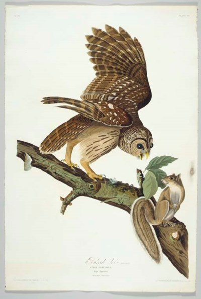 Barred Owl (Plate 46) Barred O