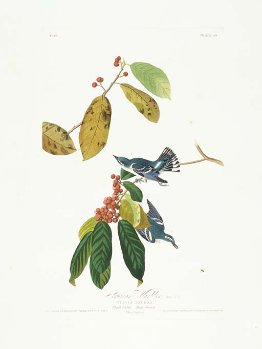 Cerulean Warbler (Plate 48) Ce