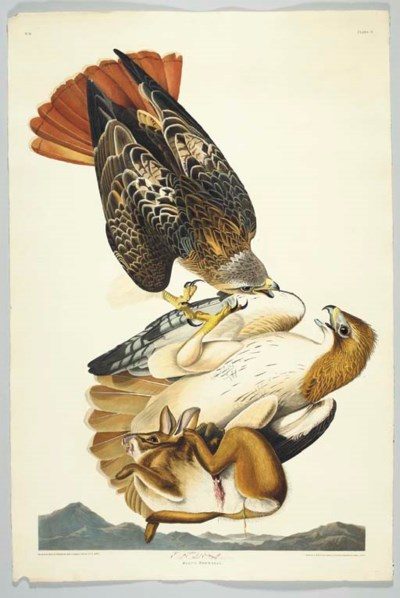 Red Tailed Hawk (Plate 51) Red