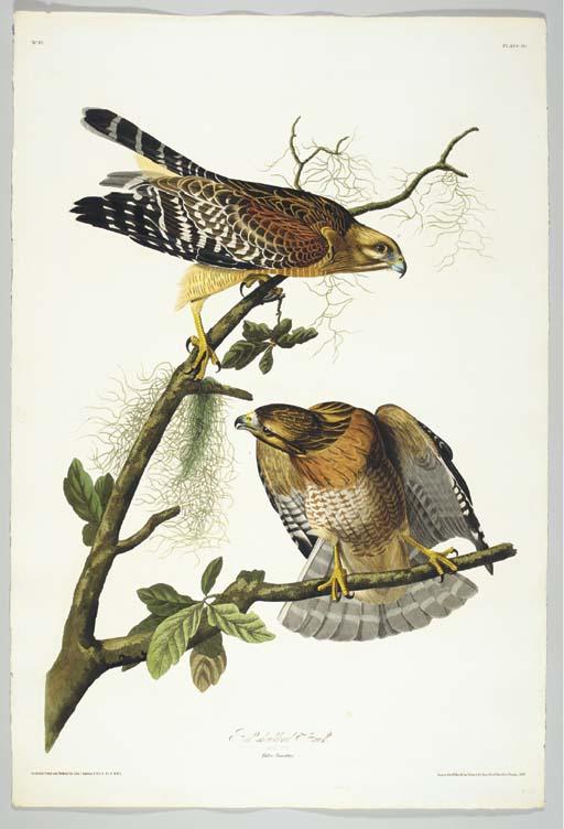 Red-shouldered Hawk (Plate 56)