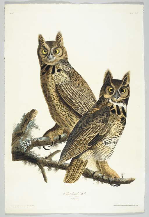 Great horned-Owl (Plate 61) Gr