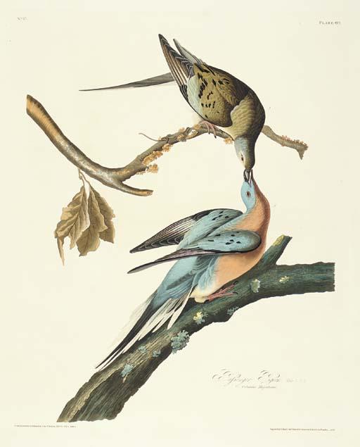Passenger Pigeon (Plate 62) Pa