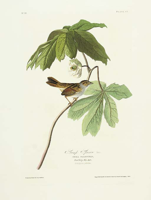 Swamp Sparrow (Plate 64) Melos