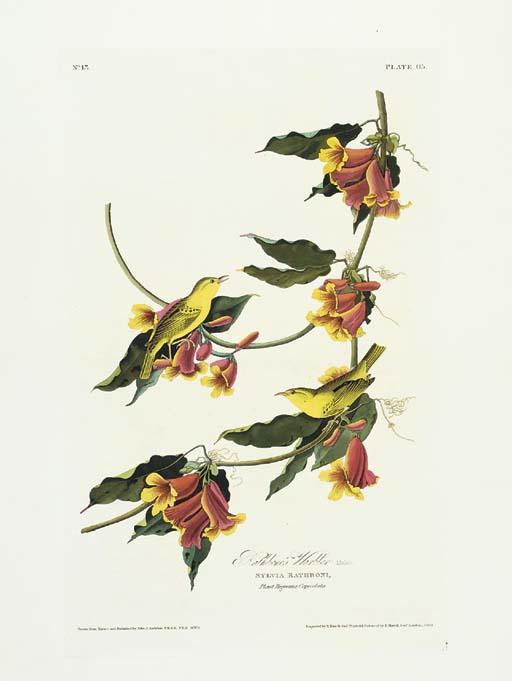 Rathbone's Warbler (Plate 65)