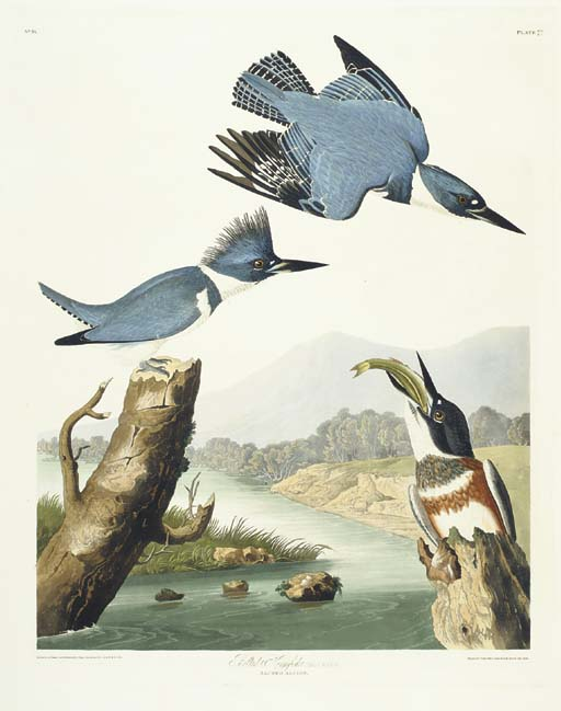 Belted Kingfisher (Plate 77) C