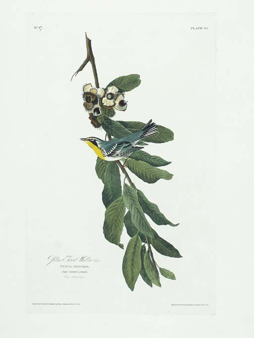 Yellow Throat Warbler (Plate 8
