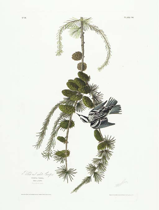 Black and white Creeper (Plate