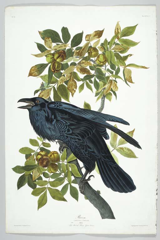 Raven (Plate CI) Common Raven,