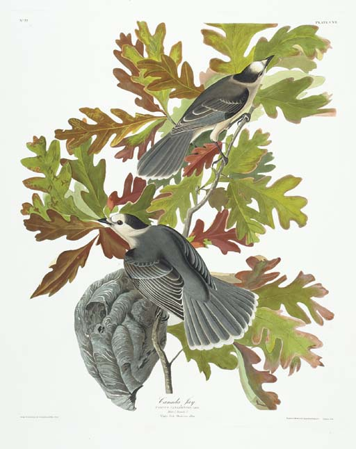 Canada Jay (Plate CVII) Gray J