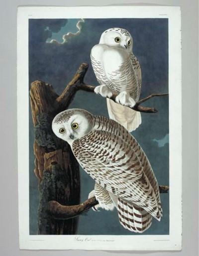 Snowy Owl (Plate CXXI) Nyctea
